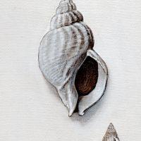 zoological illustration